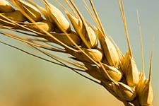 wheat-225x150